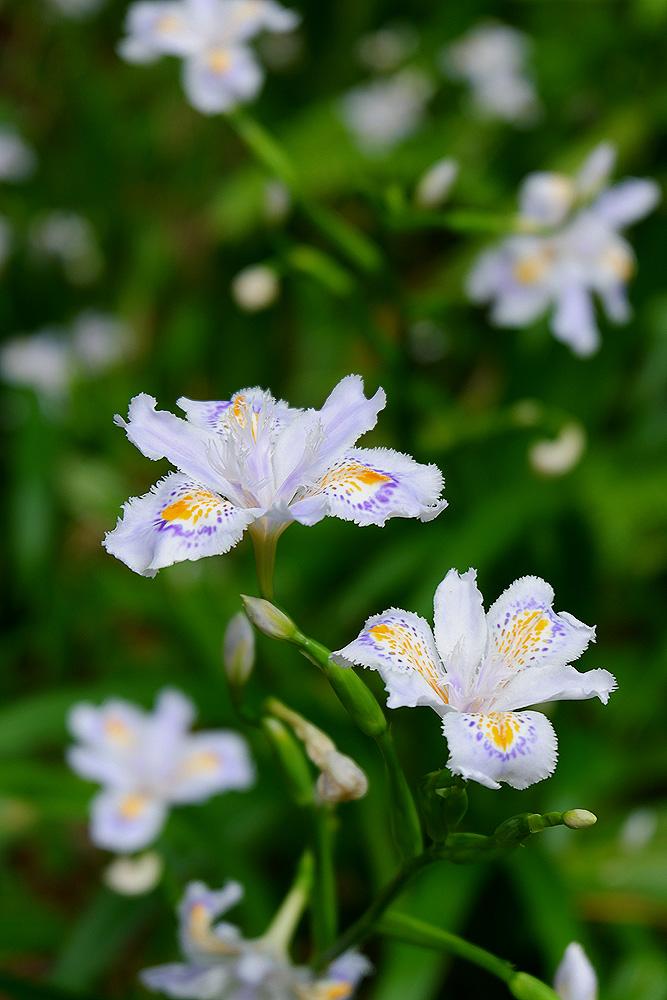 X-A3で花を撮る ヒメシャガ
