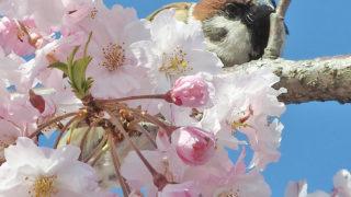 第167話 鳥さんとお花見