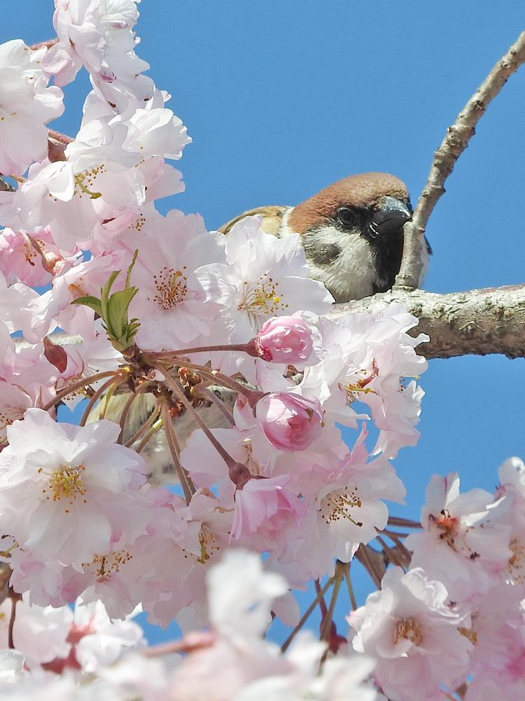 スズメと桜 超望遠で撮影 岐阜