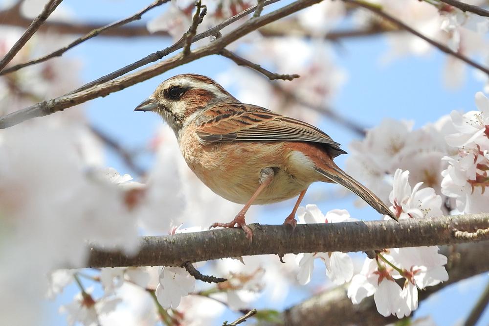 ホオジロのメスと桜 ネオ一眼で撮影 岐阜