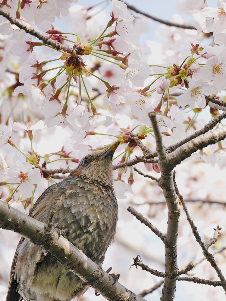 桜の蜜を吸うヒヨドリ ミラーレス一眼で撮影 岐阜