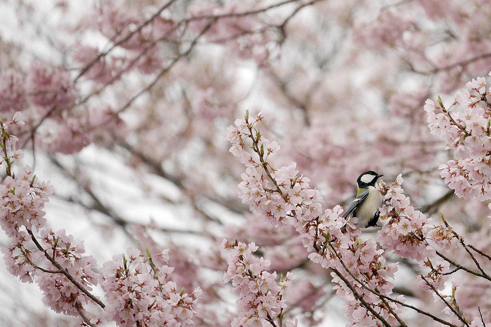 シジュウカラと桜 ミラーレス一眼で撮影 岐阜