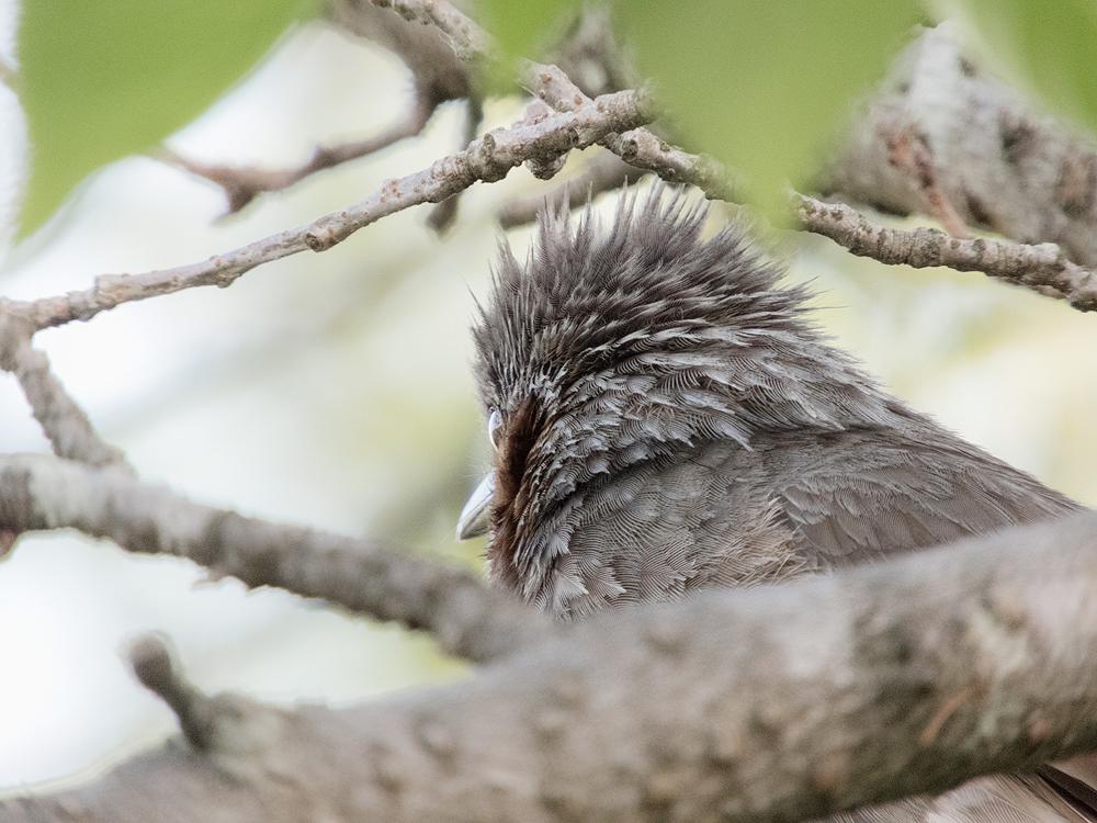 ヒヨドリの髪型 後頭部