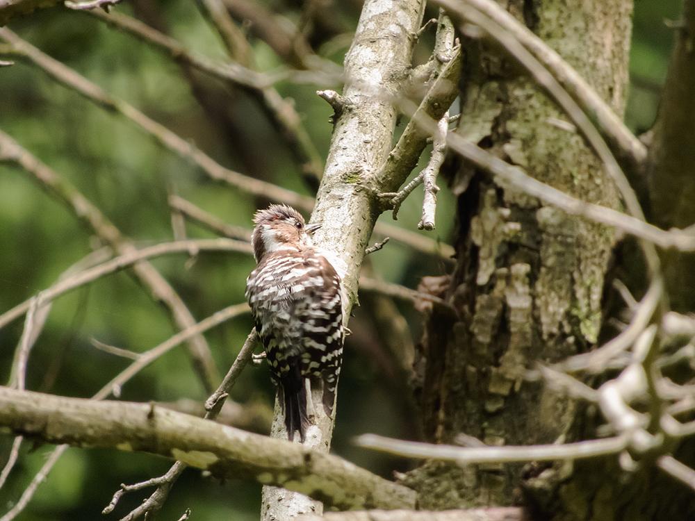 コゲラのオスは後頭部の側面に赤い羽根がある