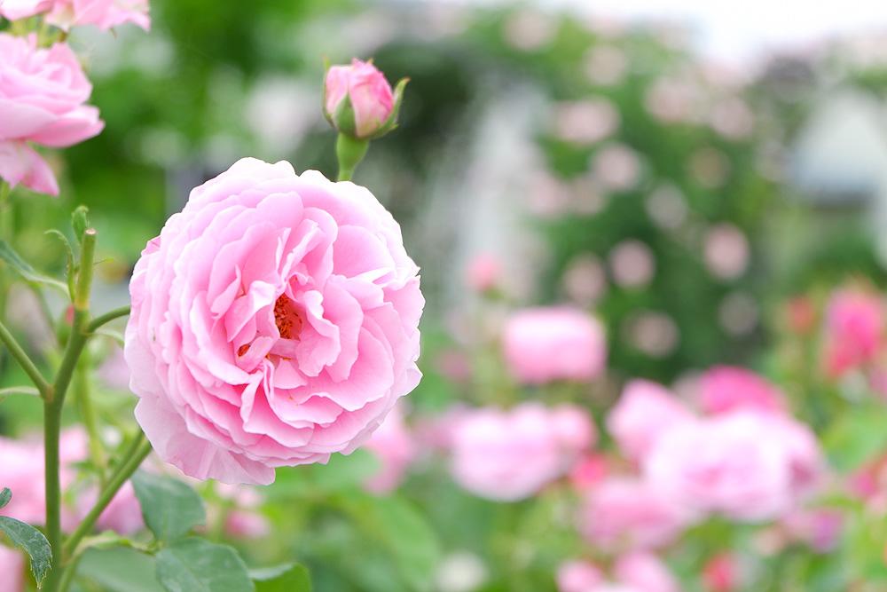 X-A3で撮影した写真 ピンクのバラ