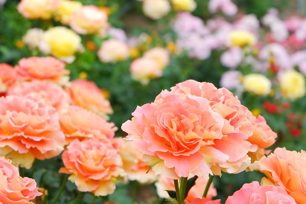 FUJIFILM X-A3で撮影した花の写真 岐阜