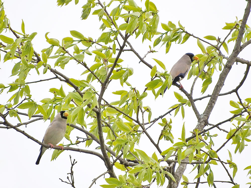 枝にとまるイカル ネオ一眼で撮影