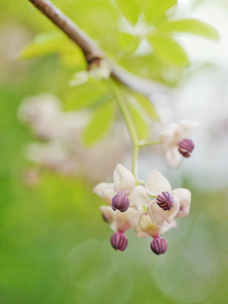 アケビの花 ミラーレス一眼で撮影 岐阜