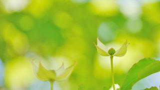 第180話 ひっそりと咲くヤマボウシ