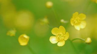 第188話 輝く黄色の花~ウマノアシガタ~