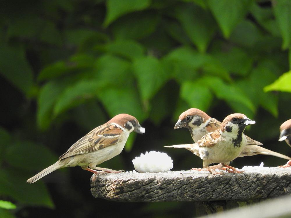 ターシャの庭 餌台に集まるすずめ