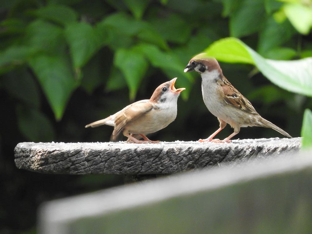 餌をねだるすずめの幼鳥 岐阜