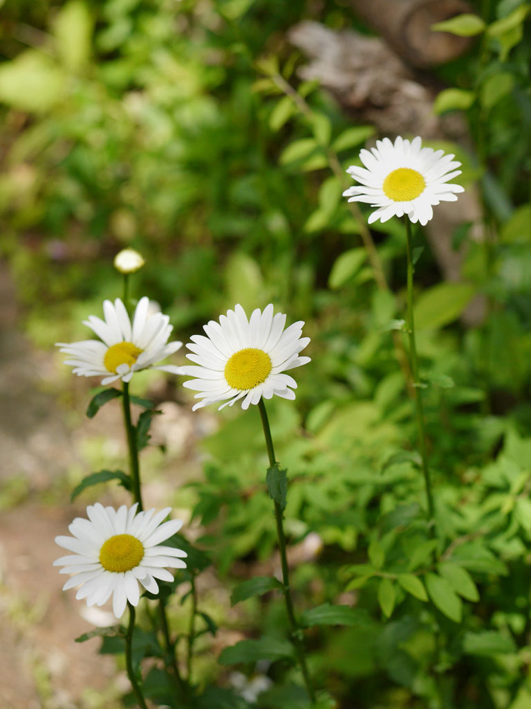 ターシャの庭 フランス菊