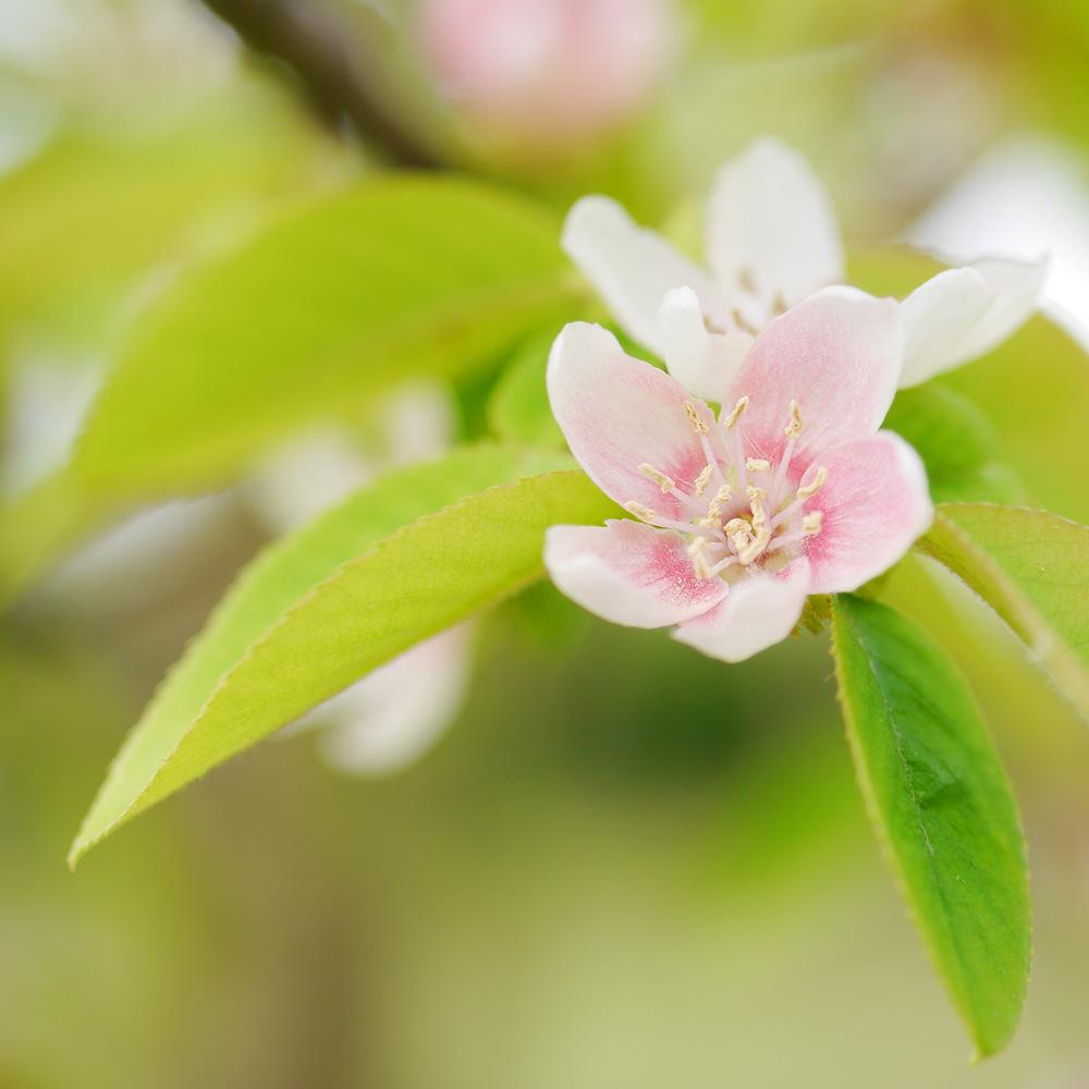 カリンの花 LUMIX 単焦点レンズで撮影