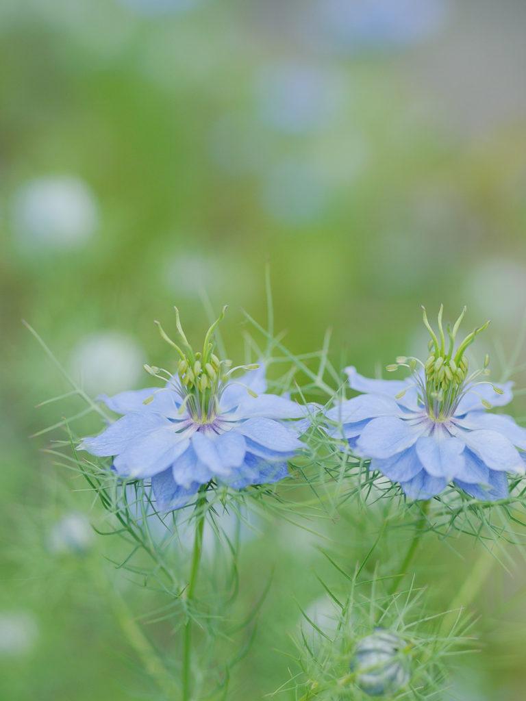 ニゲラ(クロタネソウ)の花 単焦点レンズで撮影 岐阜