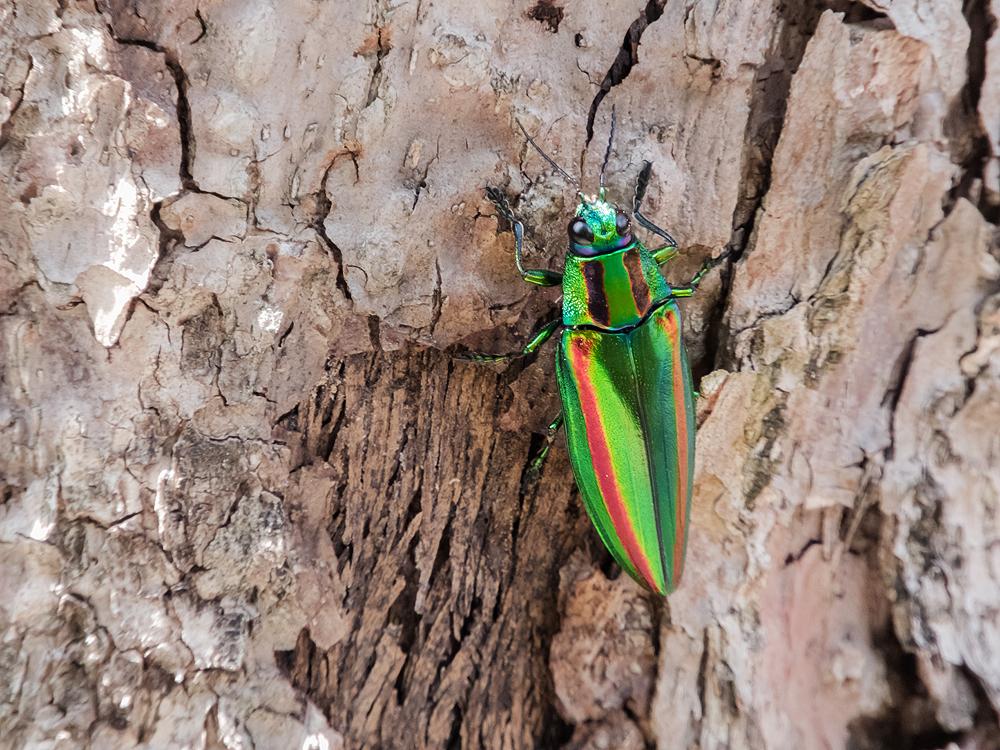 タマムシも赤と緑の組み合わせ