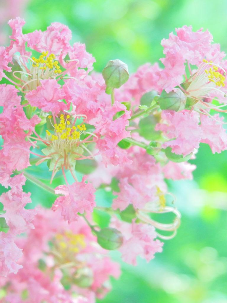 ピンクのサルスベリ エアリーフォト