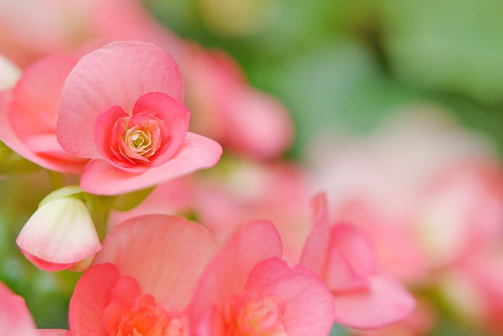 ピンクのベゴニア 単焦点レンズで撮影 三重