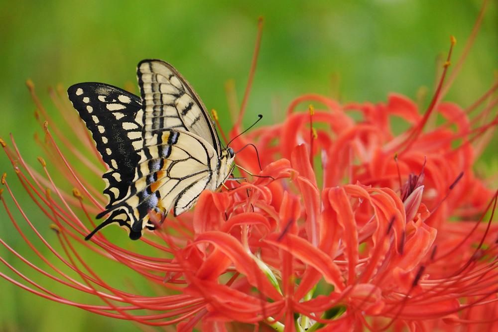 彼岸花にとまるアゲハチョウ(キアゲハ) 岐阜