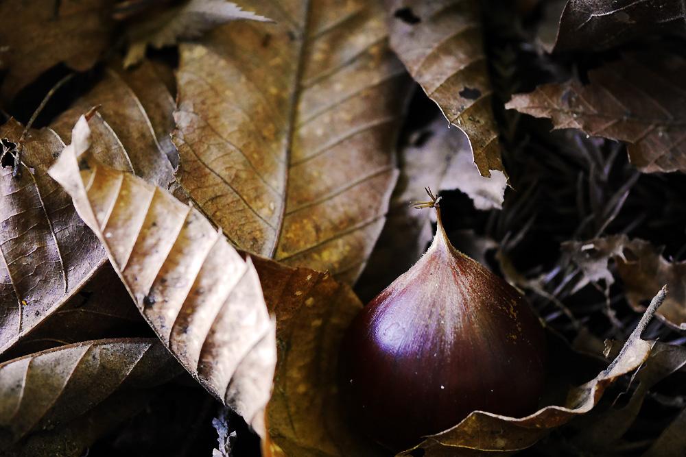 落ち葉と栗 ミラーレス一眼で撮影 岐阜