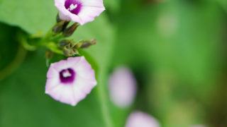 第246話 淡い紫の朝顔~ホシアサガオ~