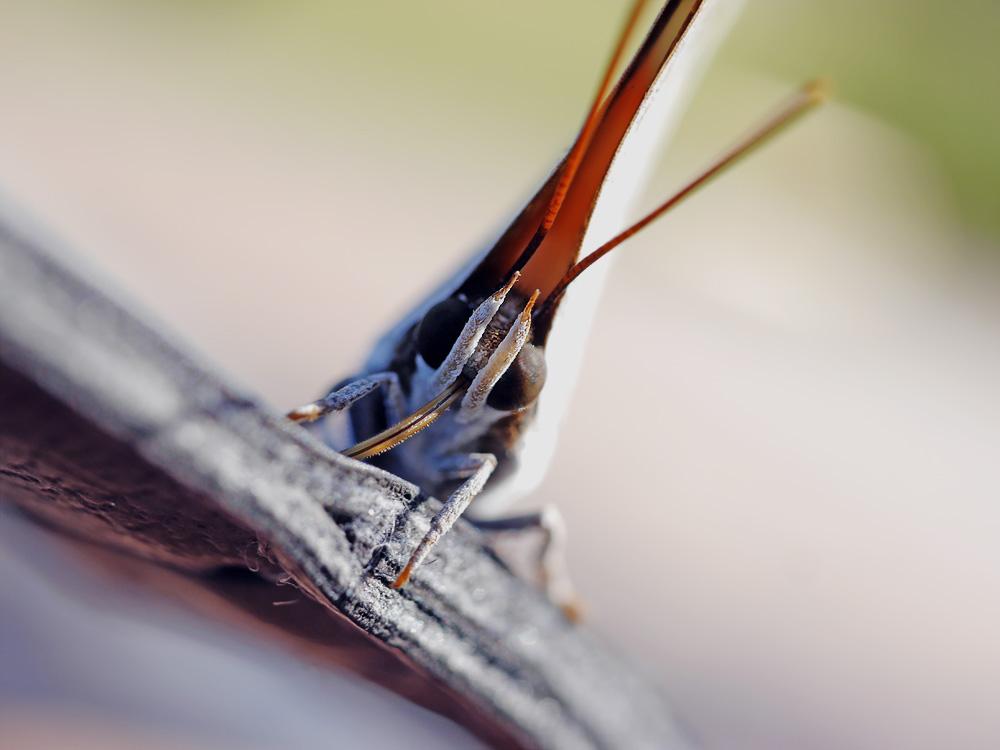 ウラギンシジミ マクロレンズで撮影 岐阜