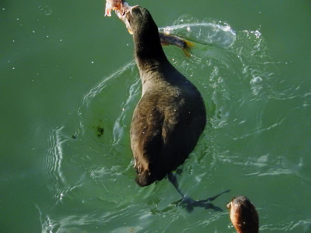 魚を捕るオオバン