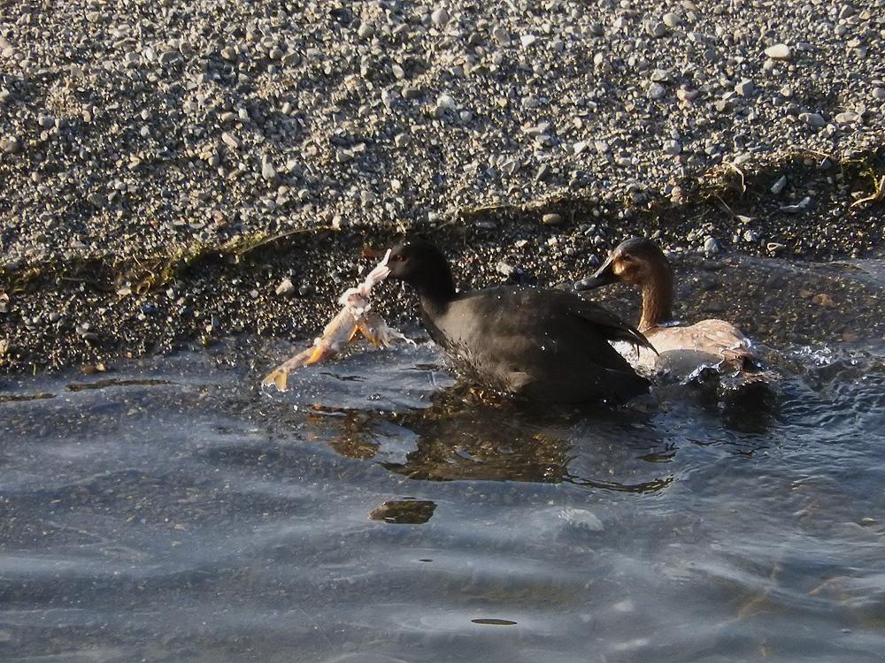 オオバンが獲った魚を狙うホシハジロ