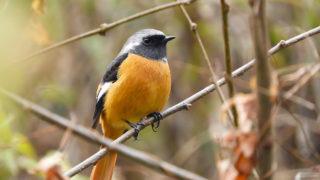 第268話 かわいい冬鳥「ジョウビタキ」