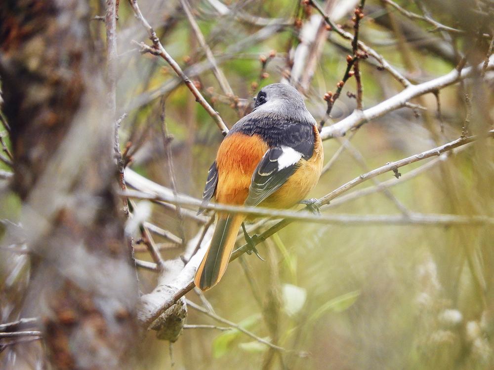 カラフルな冬鳥「ジョウビタキ」について知ってみよう ジョウビタキは木の実も食べます