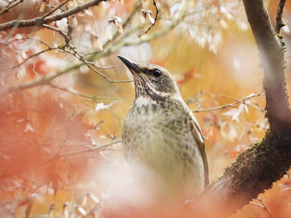 ツグミ 冬鳥 最初は群れで森林で行動する