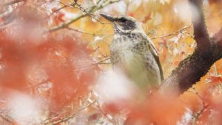 第269話 シベリアから越冬のため日本へ ツグミ