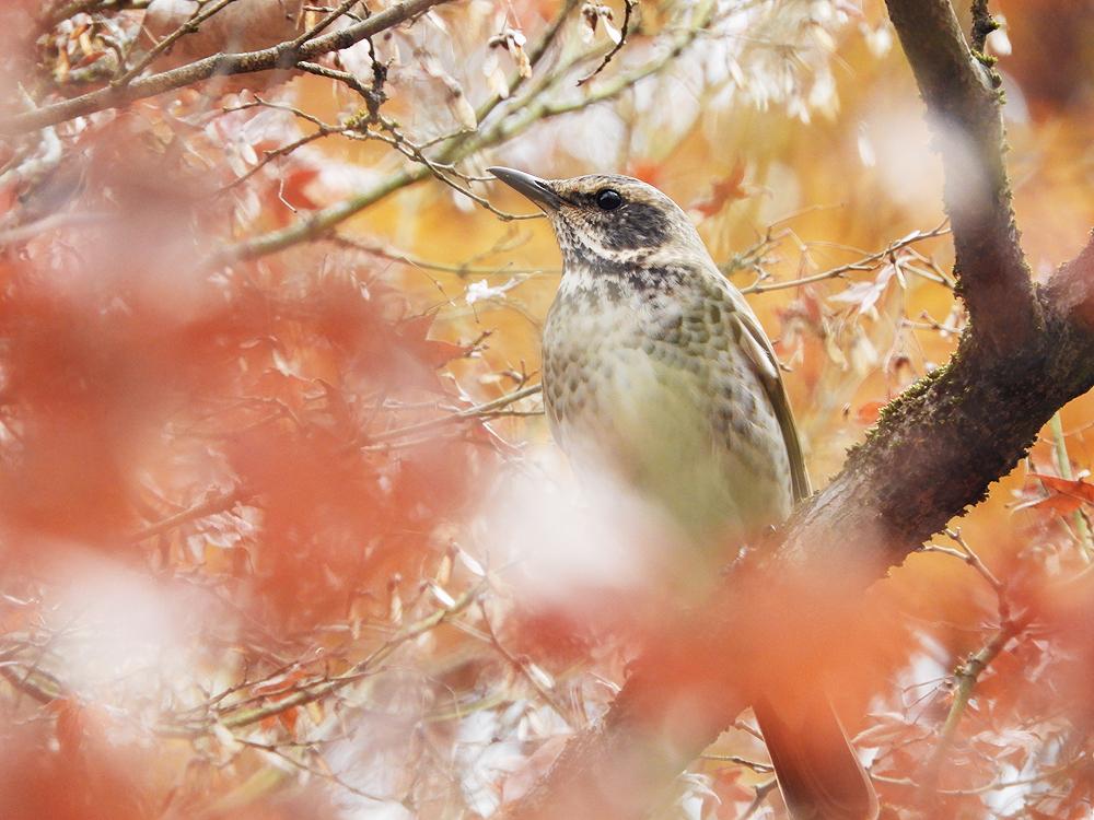 ツグミ 鳥 画像