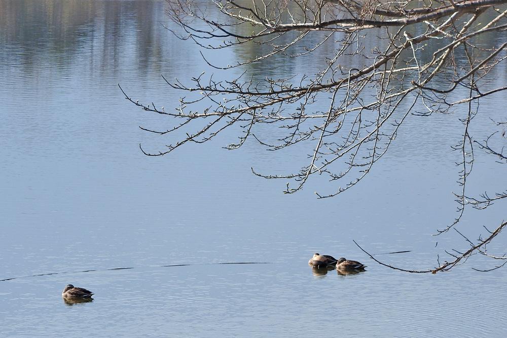 義呂池の鳥