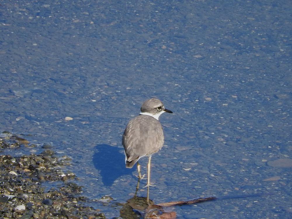 水辺のイカルチドリらしき鳥