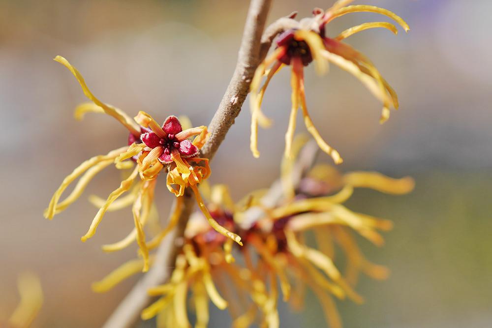 シナマンサクの花 単焦点レンズで撮影