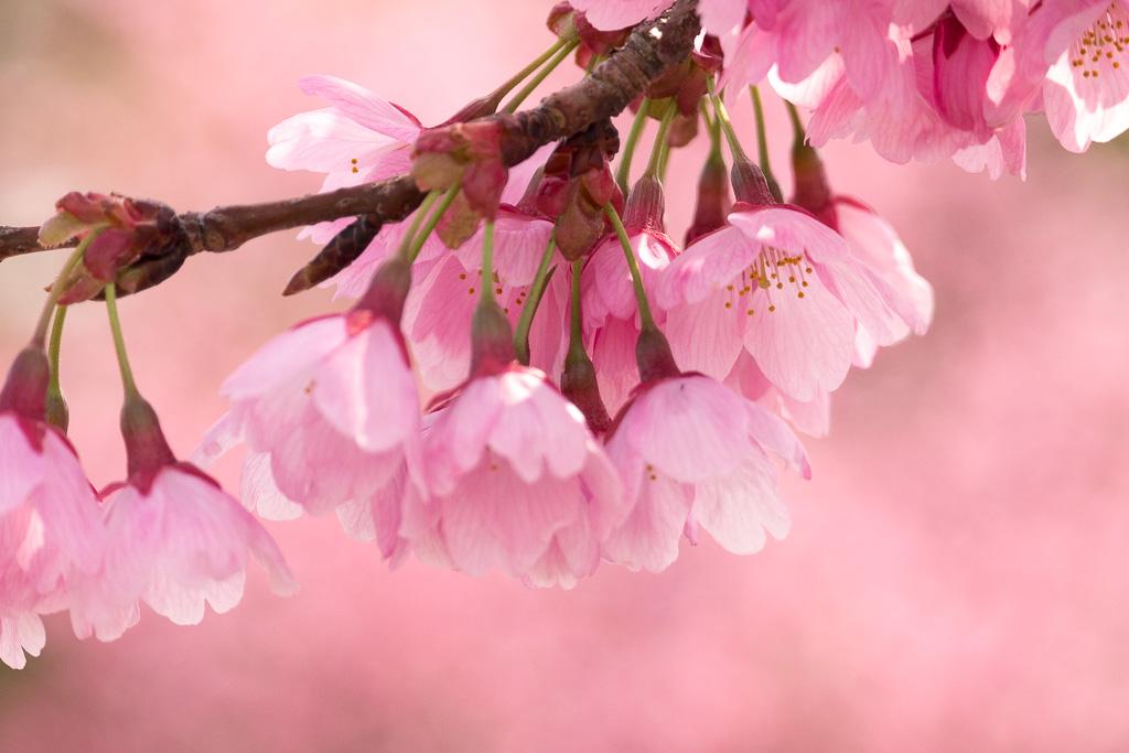 望遠レンズで桜を撮影