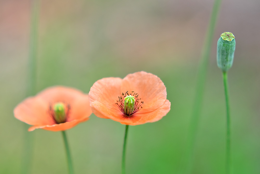ナガミヒナゲシの花と実