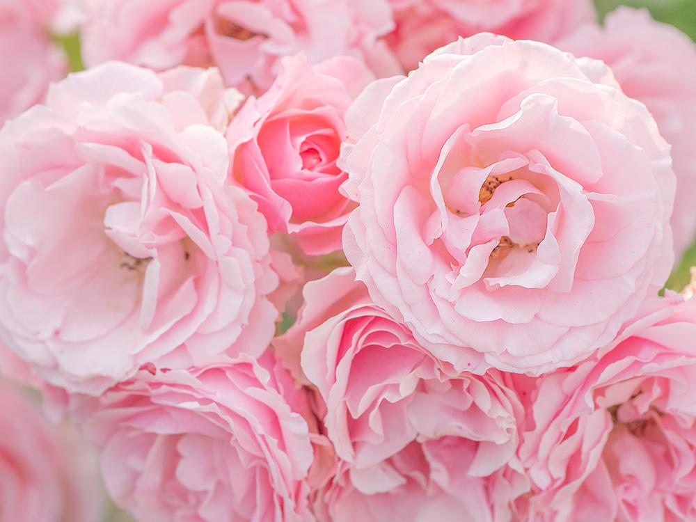 花フェスタ記念公園 春のバラ