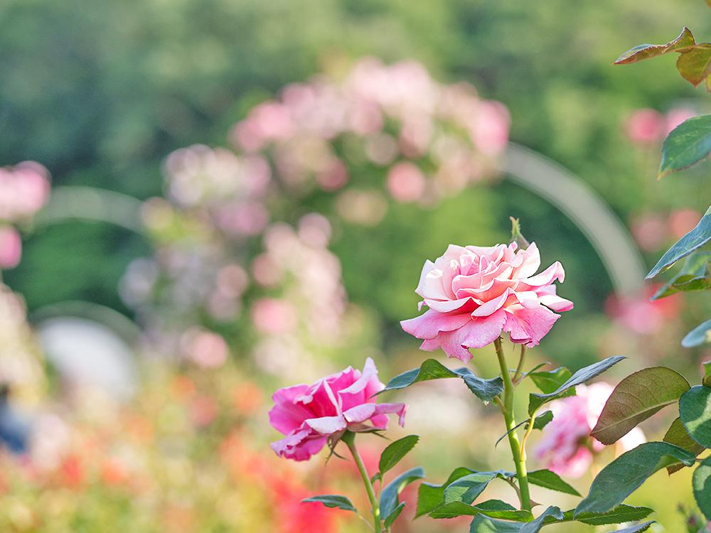 フォーマルガーデンのバラ