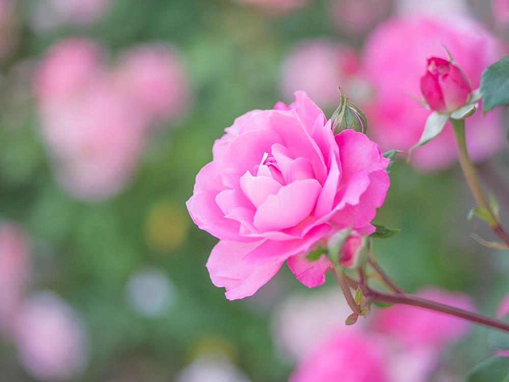 シルヴィ・ヴァルタンという名のバラ