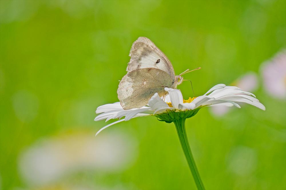 白いモンキチョウ