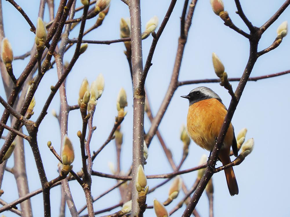 カラフルな冬鳥「ジョウビタキ」について知ってみよう