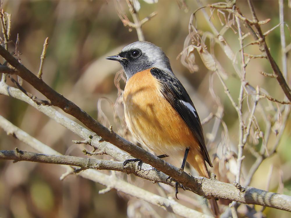 カラフルな冬鳥「ジョウビタキ」について知ってみよう オスはこんな姿