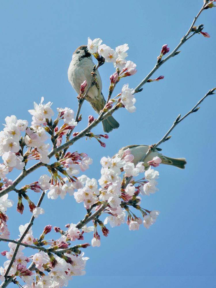 桜の花をくわえるスズメ