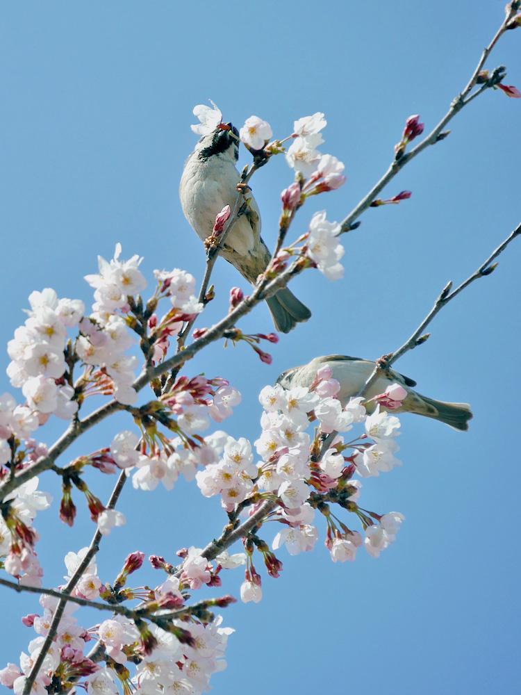 桜の蜜を吸うスズメ