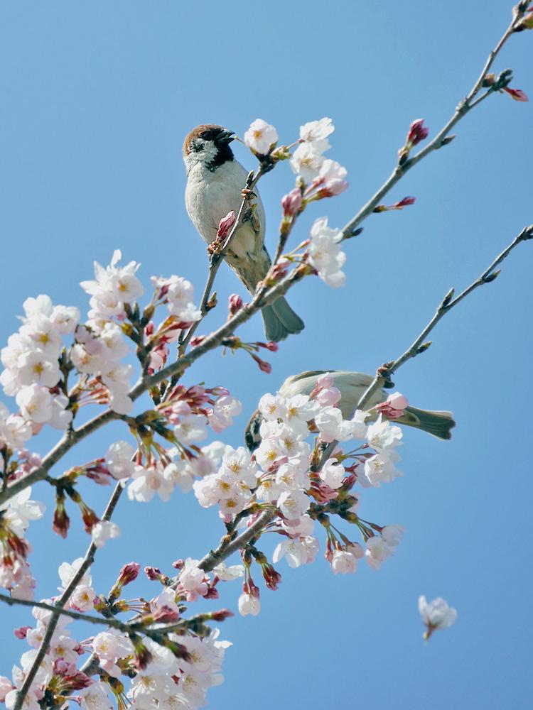 桜の花をついばむスズメ