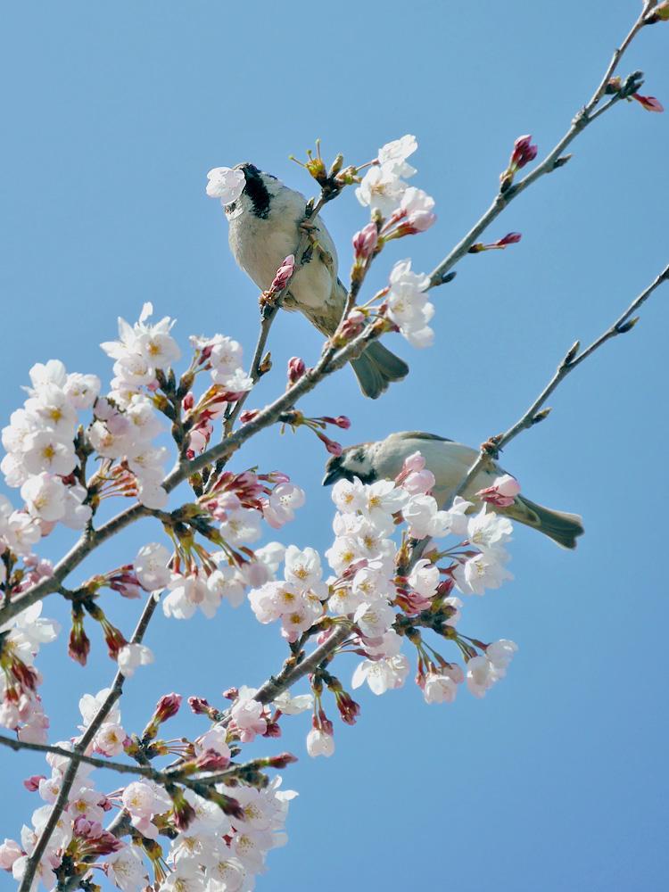 桜の花をちぎるスズメ