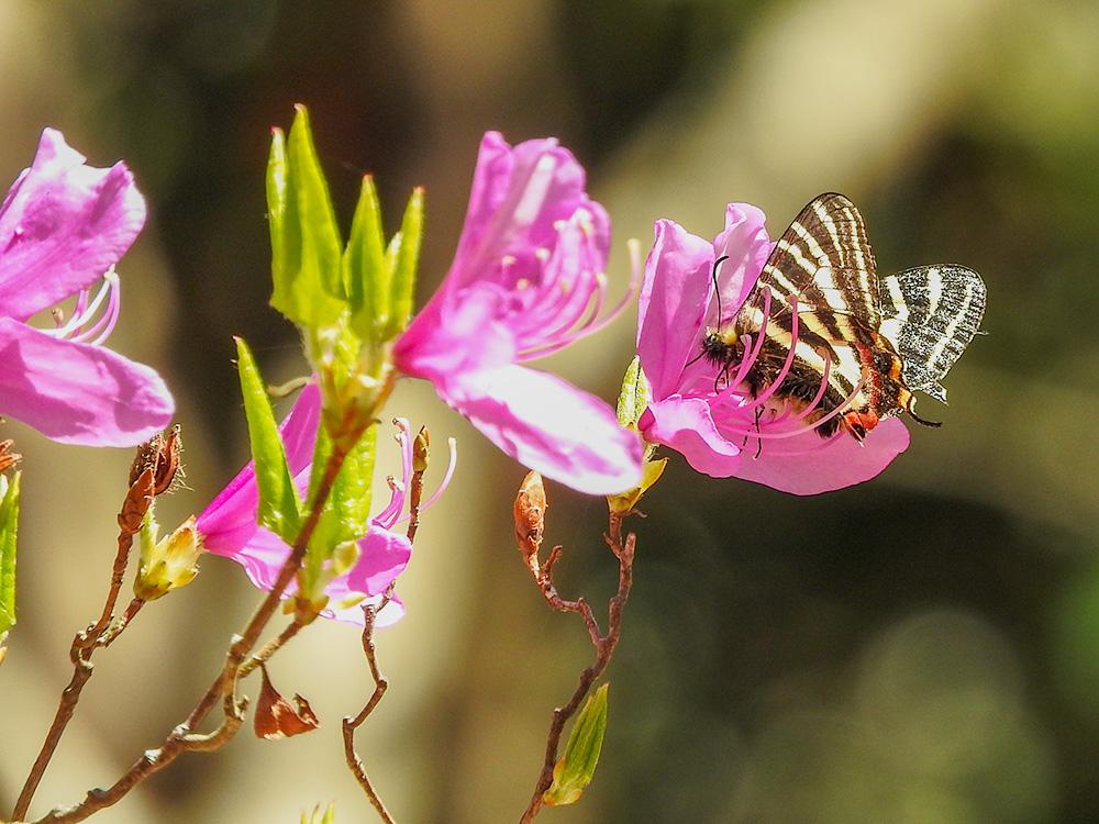 花にとまるギフチョウ