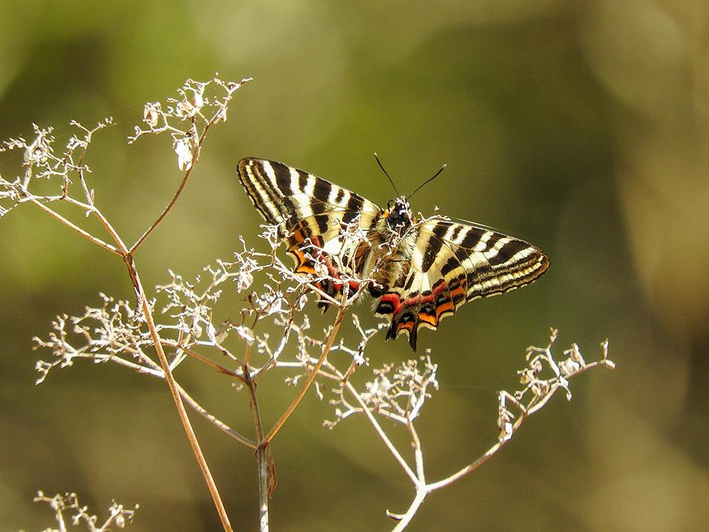 枯草にとまるギフチョウ